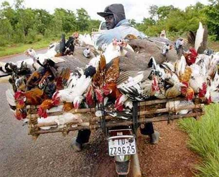 lots of chickens on a bike